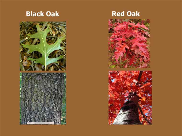 What are the Differences Between Black Oak vs Red Oak